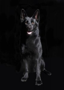 Black Shepherd Puppy sitting in front of black background, studio portrait
