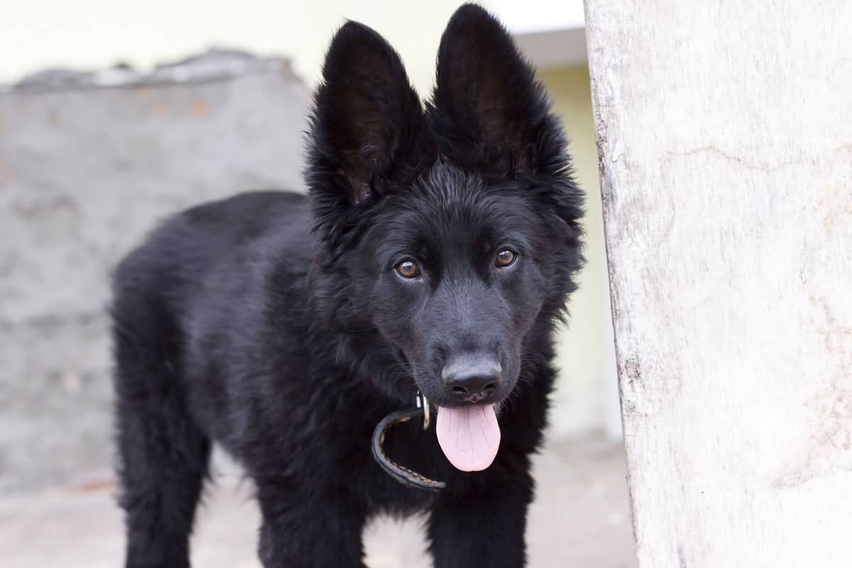 The Black German Shepherd Is Same Breed As