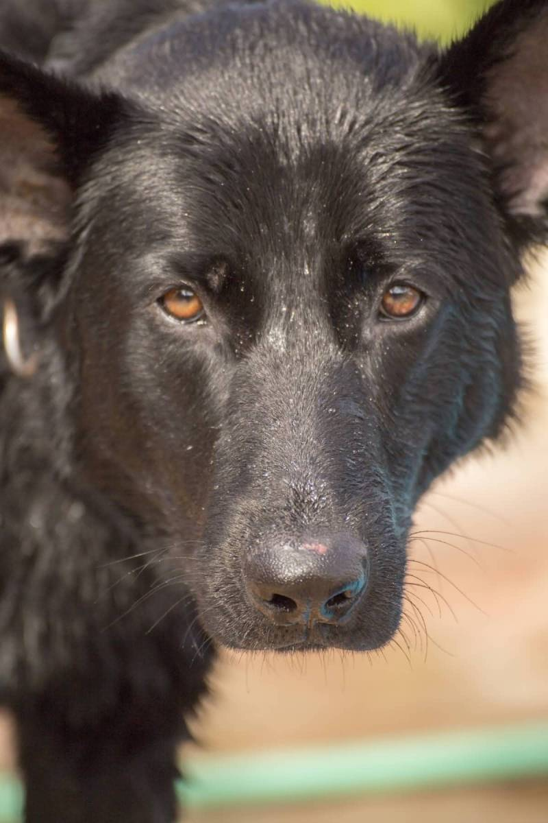 7 Things You Didn't Know About The Black German Shepherd ... Fluffy Little Dog Breeds