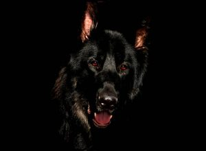 Black German Shepherd on black background