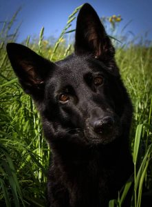 Solid Black German Shepherd