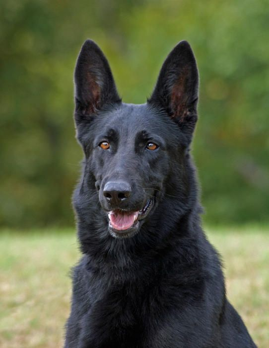 Large Dogs With Long Black Hair