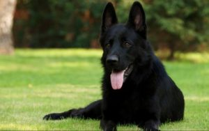 7 Things You Didn't Know About The Black German Shepherd
