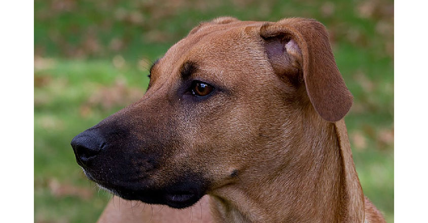 5 Facts About the Black Mouth Cur - Animalso