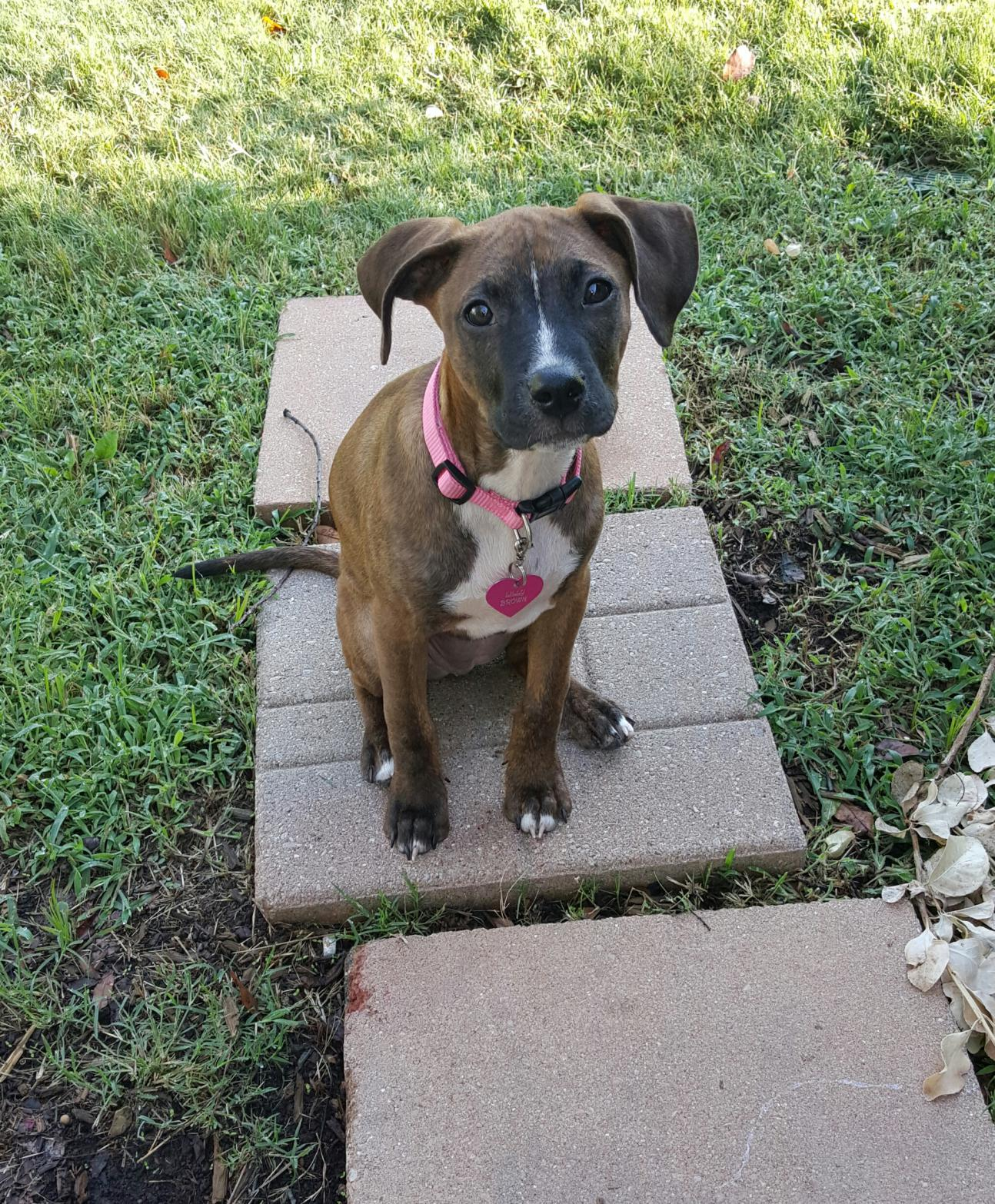Can A Mixed Breed Dog Be Brindle