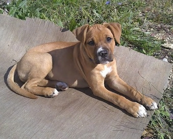 9 Things You Need To Know Before Getting A Pitbull Boxer Mix Animalso
