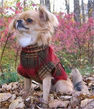 Shih Tzu Chihuahua Mix (A K A  Shichi) Breed Info & 21