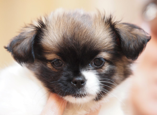 what does a shih tzu chihuahua look like shih tzu chihuahua mix a k a shichi breed info 21 9665