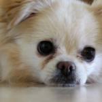 Chihuahua Shih Tzu Mix