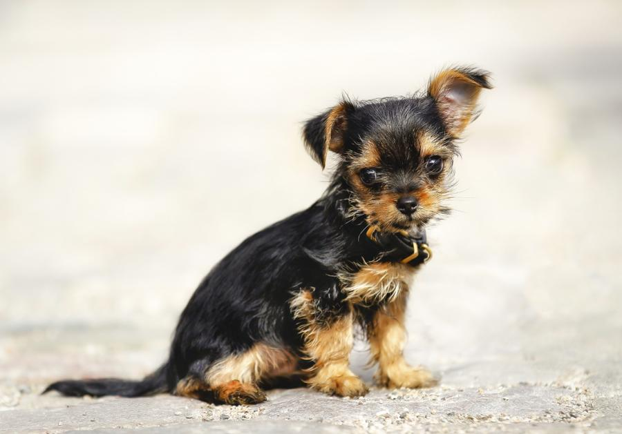 13 Pictures Of Chihuahua Yorkie Mix Aka Chorkie And Breed Info