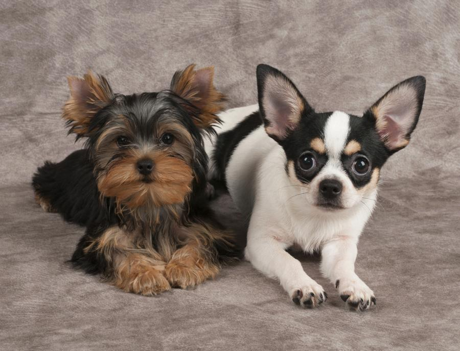 Chorkie (Chihuahua Yorkie Mix) breed review and 13 ...