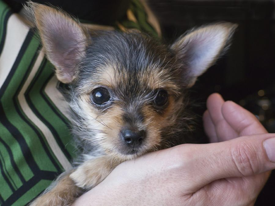 13 Pictures of Chihuahua Yorkie Mix (A.K.A. Chorkie) and Breed Info ...