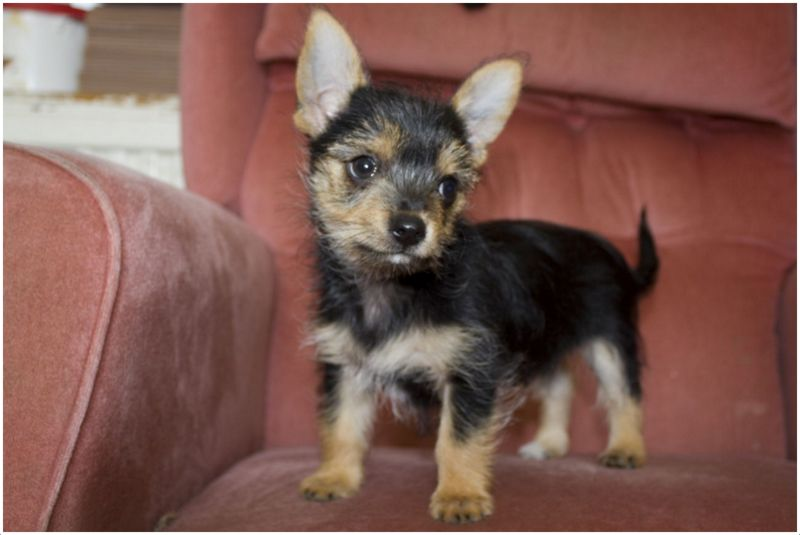 Chorkie (Chihuahua Yorkie Mix) breed review and 13 pictures