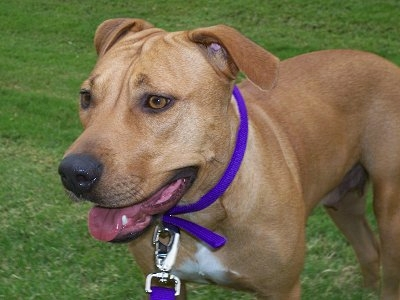 Why is the Pitbull Lab Mix (AKA Labrabull) Such a Great ...