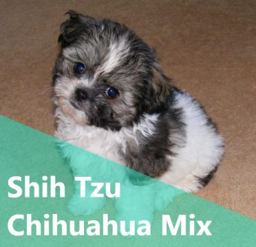 Shih Tzu Chihuahua Mix ,also known as Shi-chi