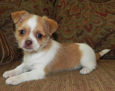 Weiner Dogs For Sale San Diego