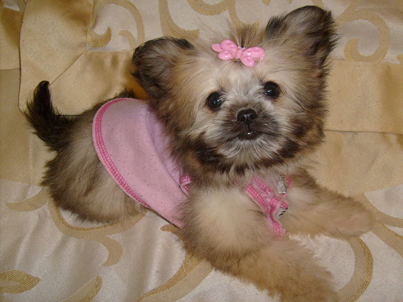 what does a shih tzu chihuahua look like shih tzu chihuahua mix a k a shichi breed info 21 6299