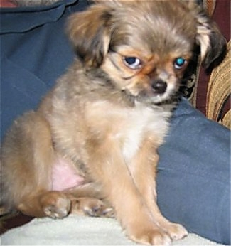 what does a shih tzu chihuahua look like shih tzu chihuahua mix a k a shichi breed info 21 6809