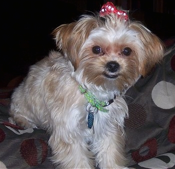 24 Pictures Of Shih Tzu Yorkie Mix A K A Shorkie And