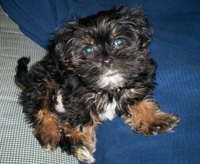 Shorkie: A Definitive Review of the Shih Tzu Yorkie Mix (and