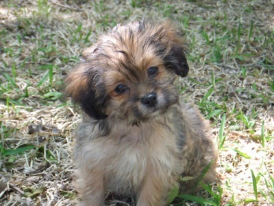 what does a shih tzu dog look like shorkie a definitive review of the shih tzu yorkie mix 1437