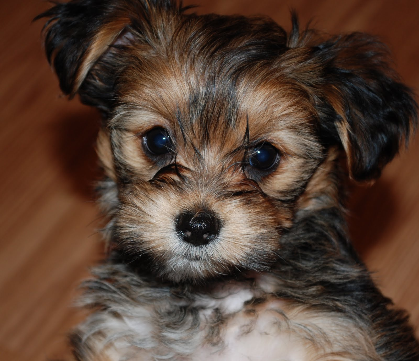 what does a shih tzu dog look like 24 pictures of shih tzu yorkie mix a k a shorkie and 947