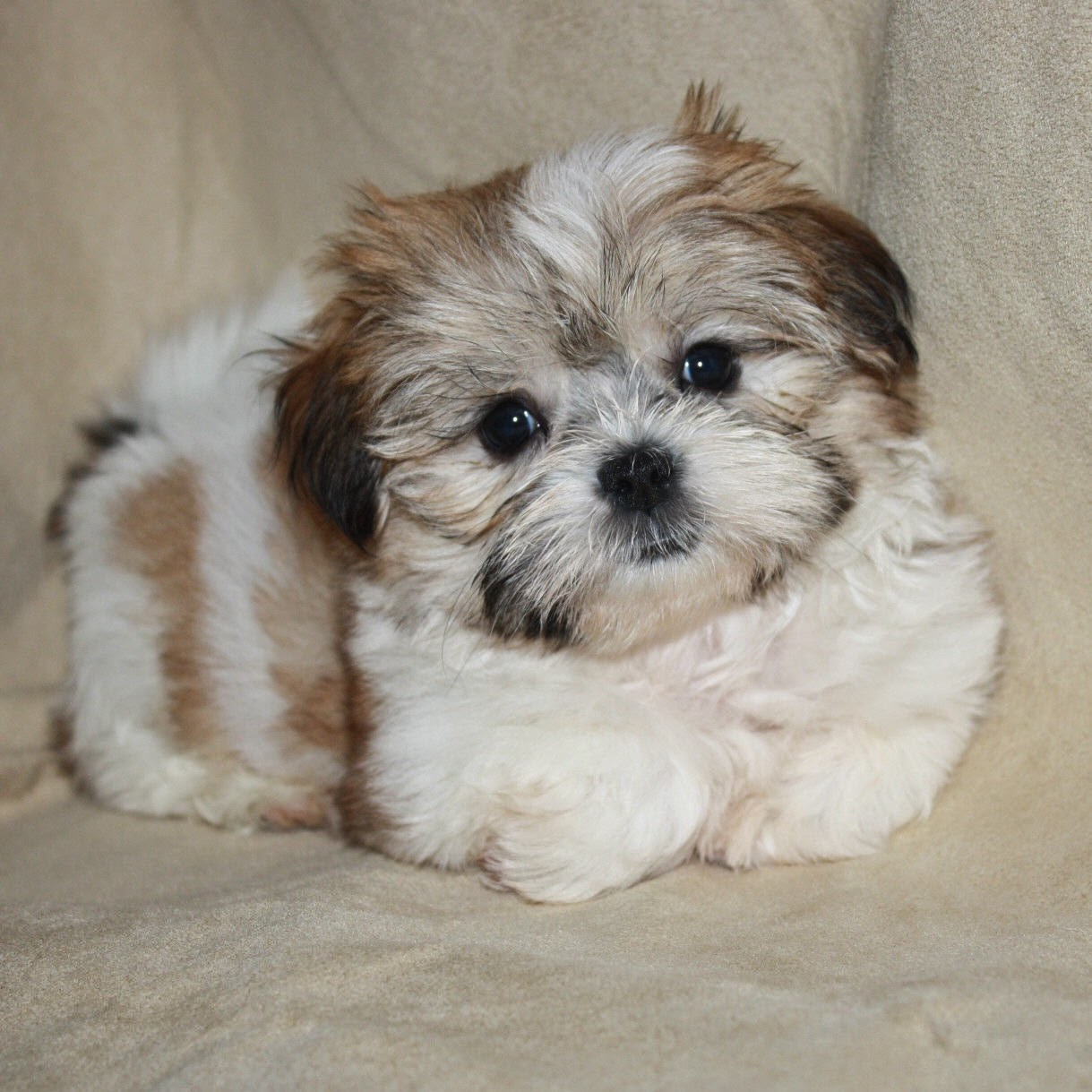 24 Pictures Of Shih Tzu Yorkie Mix Aka Shorkie And Breed Info