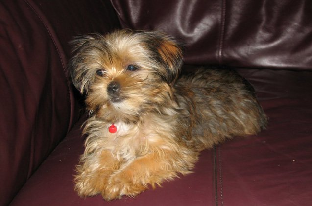 what does a shih tzu chihuahua look like shorkie a definitive review of the shih tzu yorkie mix 6586