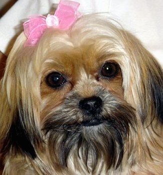 Shorkie A Definitive Review Of The Shih Tzu Yorkie Mix And Photos