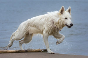White German-Shepherd