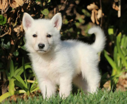 5 Common Questions About The White German Shepherd Animalso