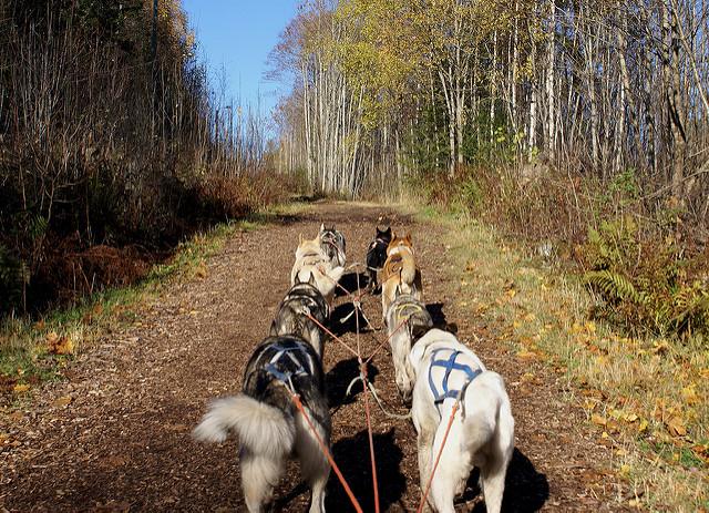 Alaskan Husky pack