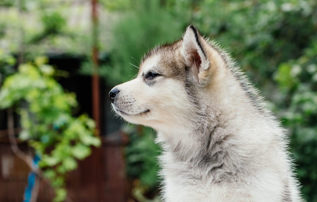 little alaskan malamute puppy in garden