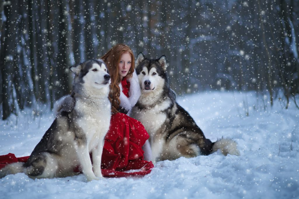 Attractive woman with the dogs. Huskies or Malamute