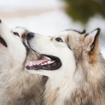 Two dogs breed of malamutes on the snow