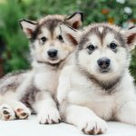 small cute alaskan malamute puppies playing in garden