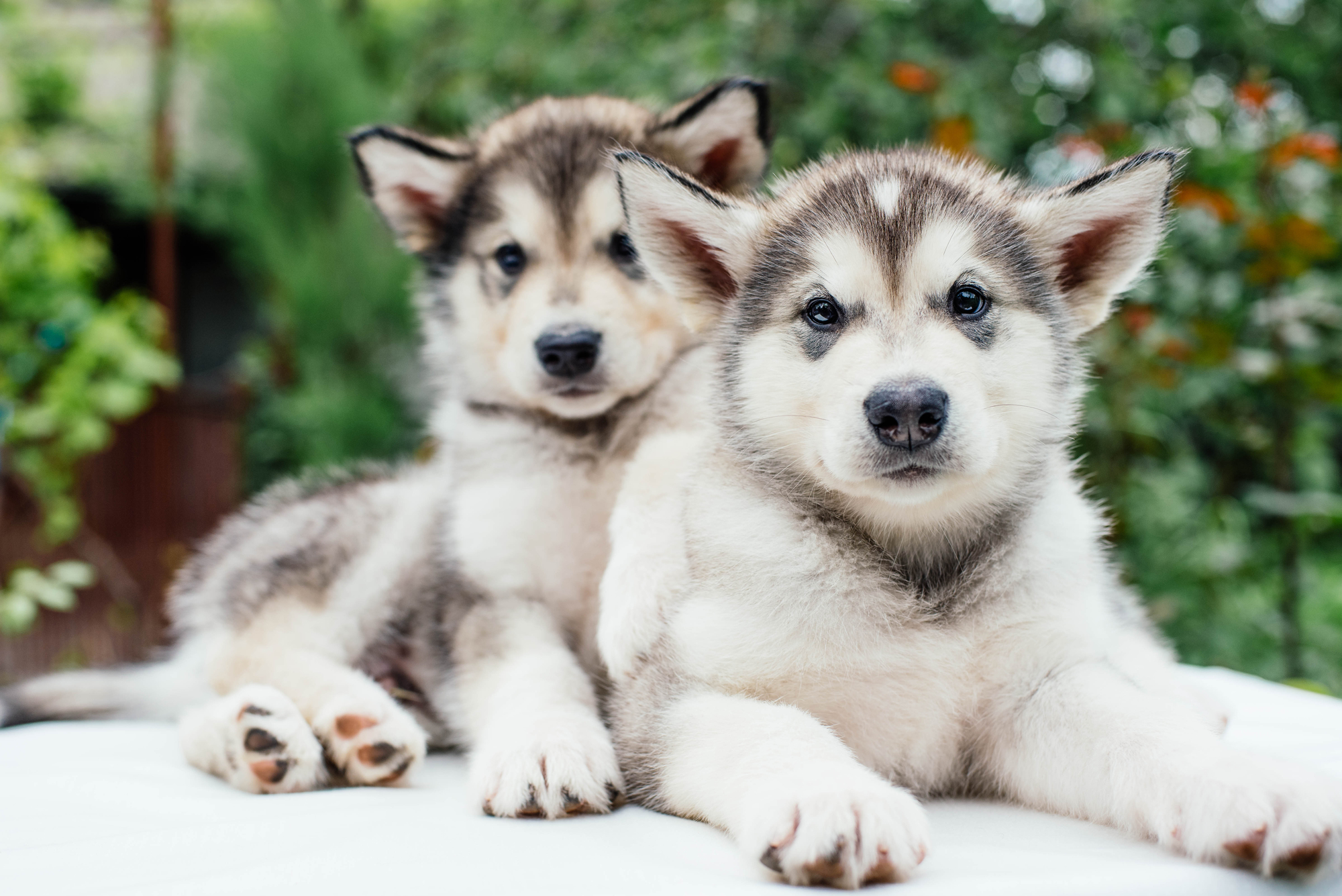 7 things to know before getting an alaskan malamute animalso