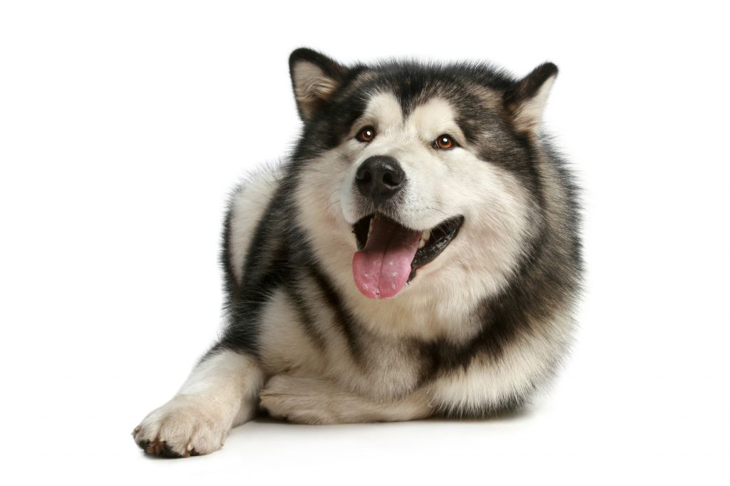 Cheerful malamute lies on a white background