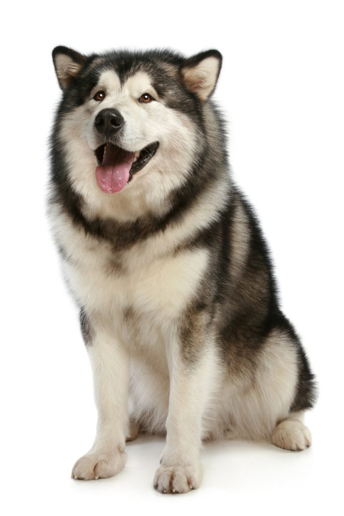 Cheerful malamute sits on white background