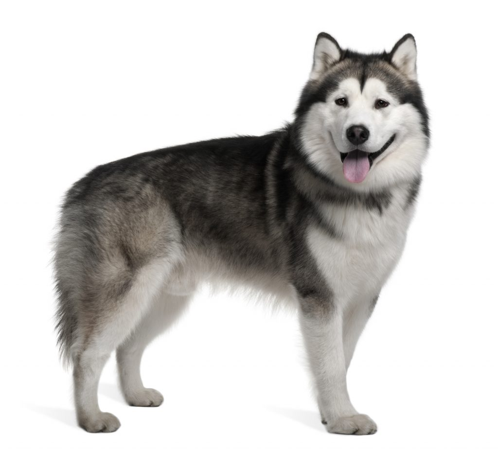 Alaskan malamute, 19 months old, standing in front of white background