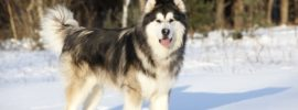 7 Things To Know Before Getting An Alaskan Malamute