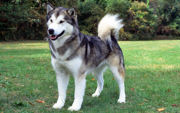 Difference Between Alaskan Malamute Siberian Husky And