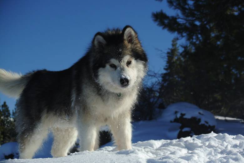 Difference between Alaskan Malamute, Siberian Husky and ...