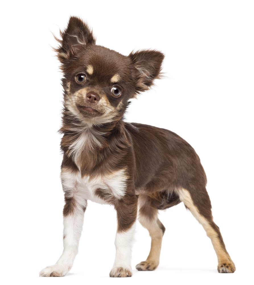 7 Things That Make Chihuahua An Amazing Breed Animalso