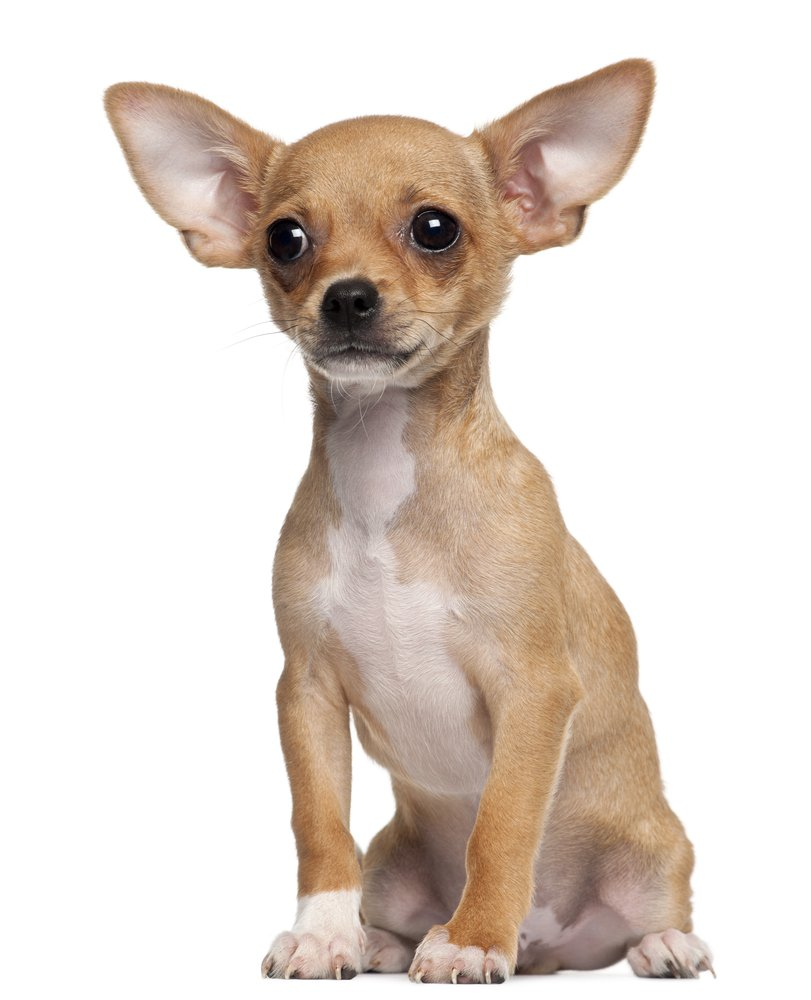Image result for chihuahua images