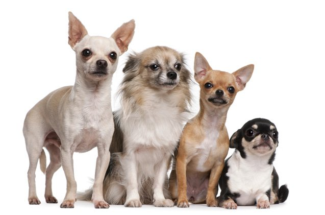 7 Things that Make Chihuahua an Amazing Breed - Animalso