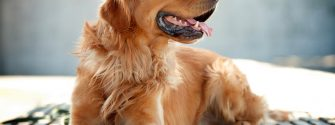 Golden-Retriever_4