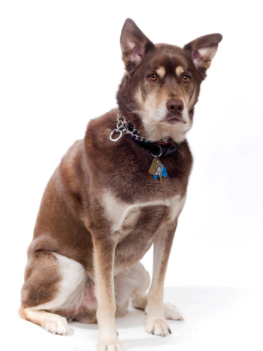 What You Need To Know Before Getting A Husky Lab Mix Animalso