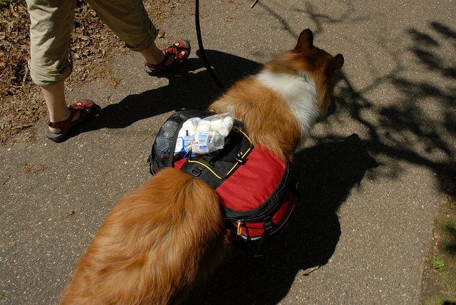 Husky with backpack