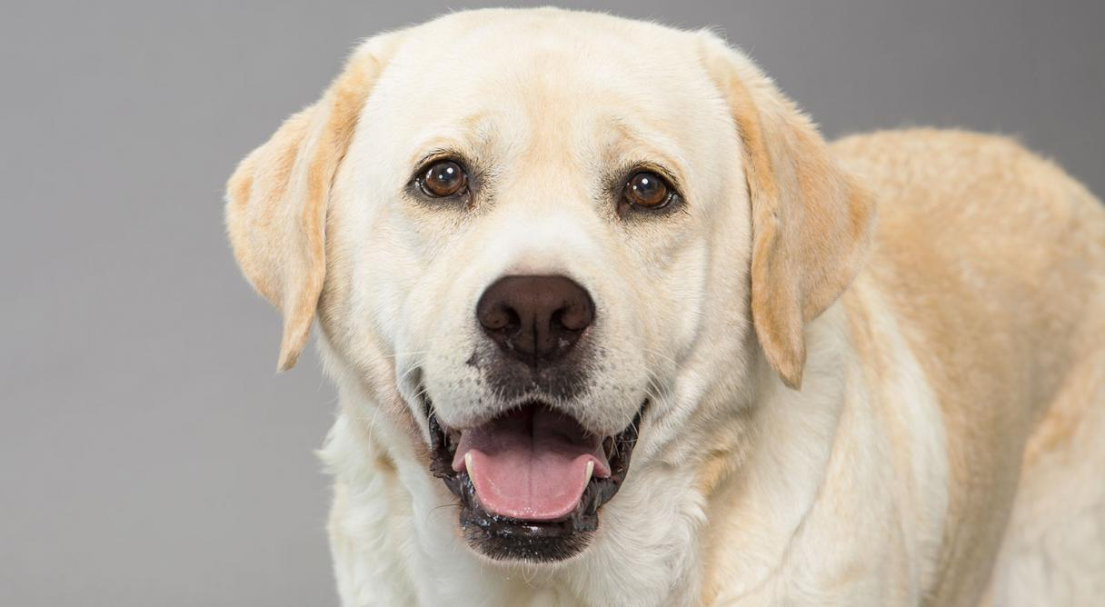 Image result for labrador retriever